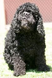 Harvey is an adoptable Cocker Spaniel Dog in Plano, TX. Harvey is a very sweet and handsome dog who is about 9 years of age. He appears to be blind but that sure doesn't slow him down! He is a sweethe...