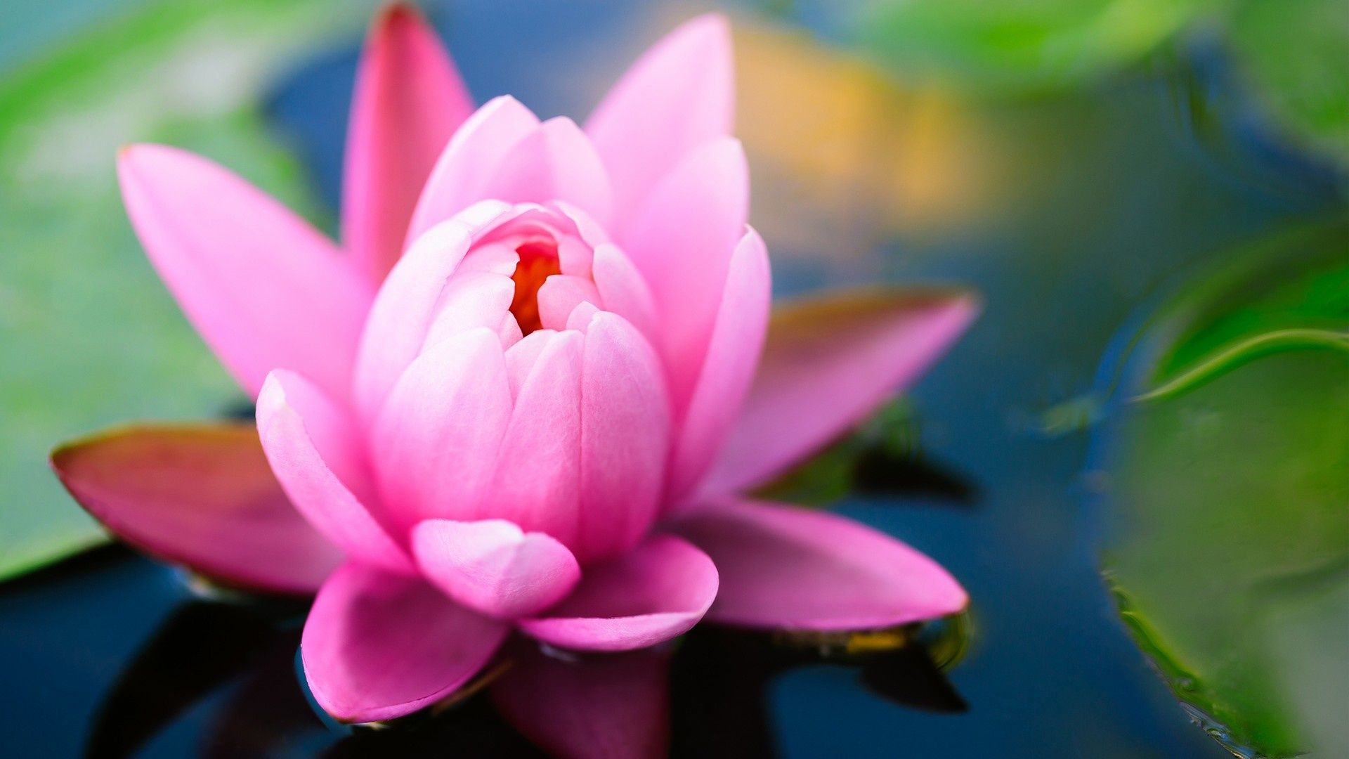 Lotus flower pond flowers wallpapers photographs pinterest lotus dhlflorist Choice Image