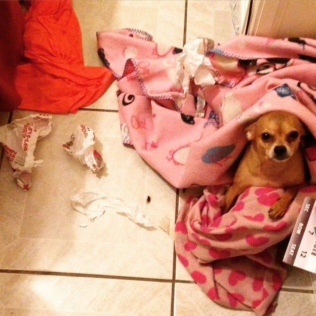 6 Problems Only Chihuahua Owners Will Understand Chihuahua