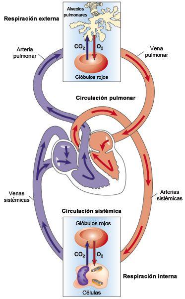 sistema circulatorio | Medical | Pinterest | Sistema circulatorio ...