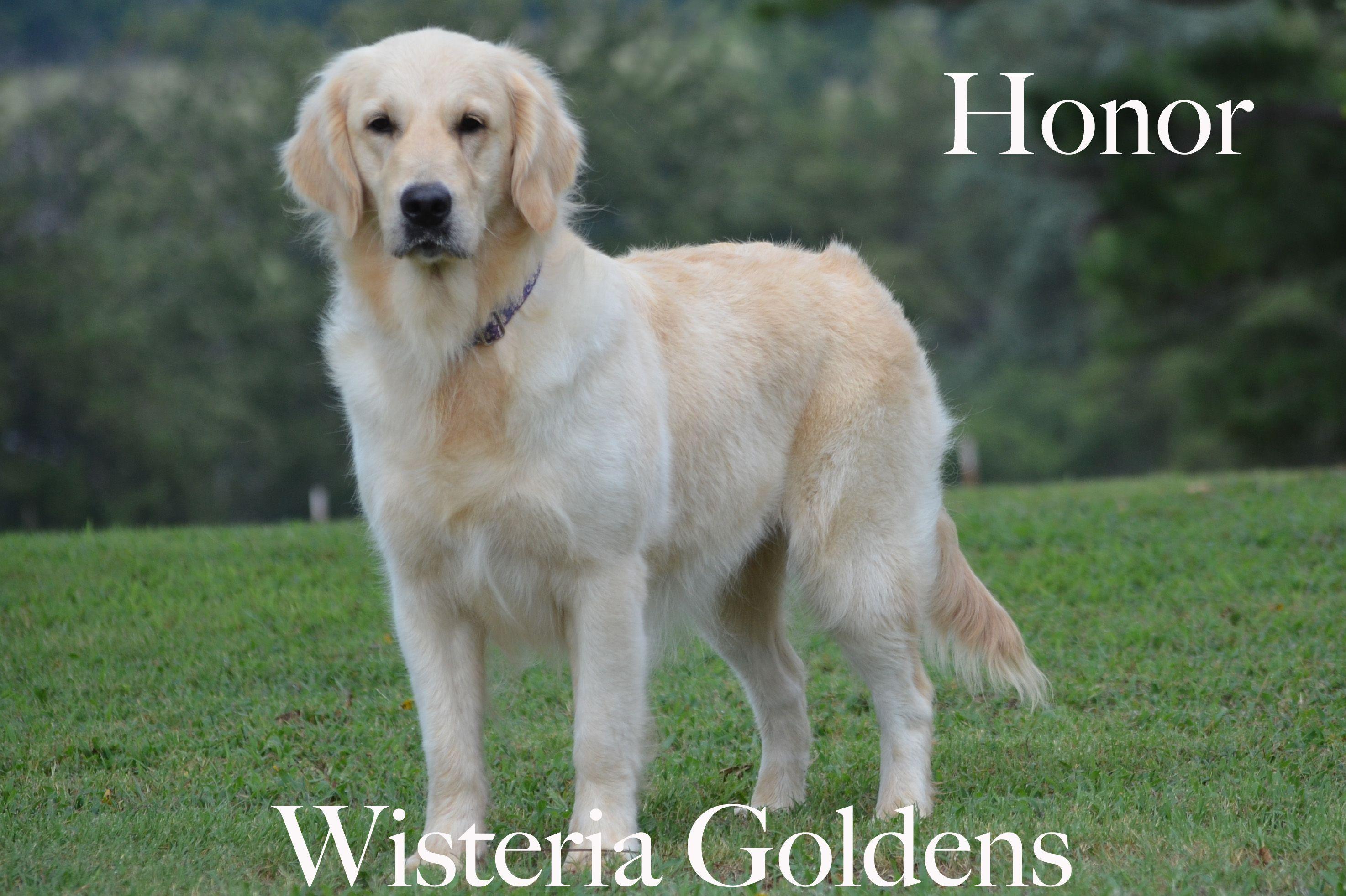Honor English Golden Wisteria Mans Best Friend Tomboy