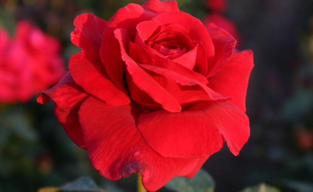 rosen die 10 sch nsten roten sorten rosen pinterest rote rosen nachbarschaft und staudenbeet. Black Bedroom Furniture Sets. Home Design Ideas