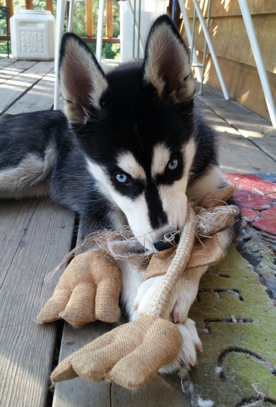 The Duck Never Stood A Chance Siberianhusky With Images Cute