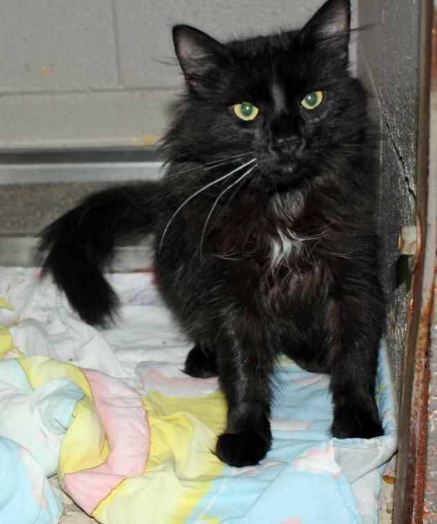 Adopt Thunder On Wants Thunder Medium Hair Styles Cats