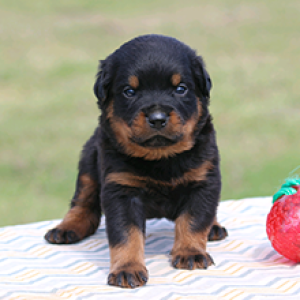 Browse The Widest Most Trusted Source Of Rottweiler Puppies For Sale Search By Desired Gender Age And More A Puppies For Sale Rottweiler Puppies Rottweiler