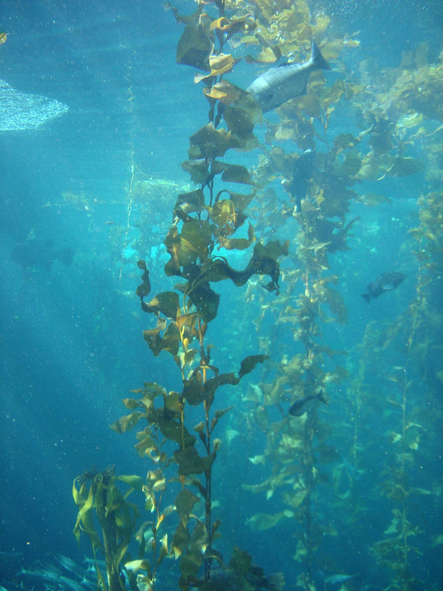 Kelp forest, Monterey Bay Aquarium, CA