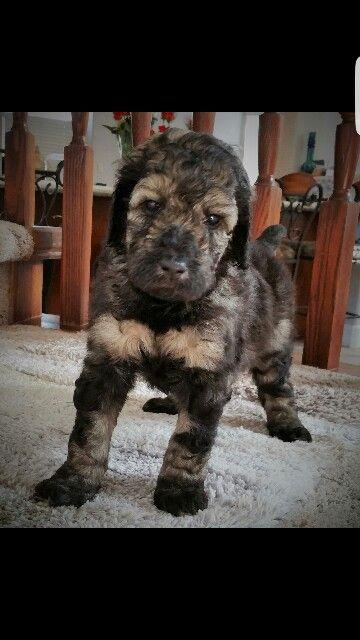 Sable Standard Poodle Puppy Labradoodle Puppy Poodle Puppy