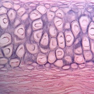 Elastic Cartilage Connective Tissue Histology Slides Tissue Human Anatomy And Physiology