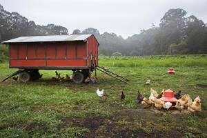 Free range chickens feeding outside a mobile coop - Stephen Zeigler/Photodisc/Getty Images