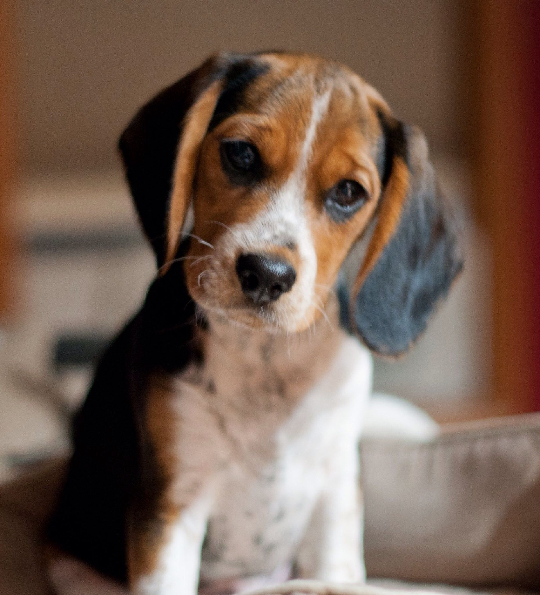 4 Month Old Beaglier Beagle And Cavalier King Charles Spaniel Mix