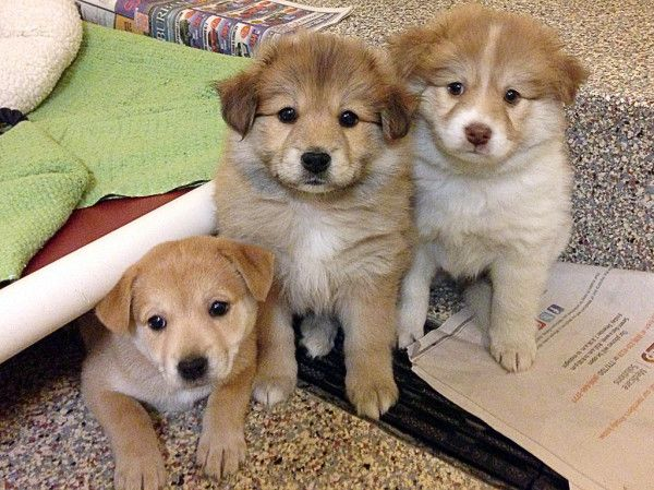 Collie Cross Puppies Puppies Responsible Pet Owner Pet Adoption