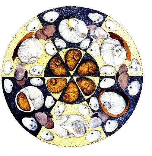 Moonsnail -- illustration by Anne Adams
