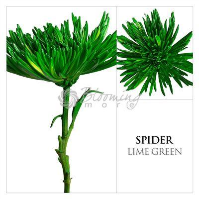 Lime Green Spider Mums, DIY wedding flowers
