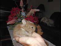 Cute Little Netherland Dwarf Purebred Rabbits Pets And