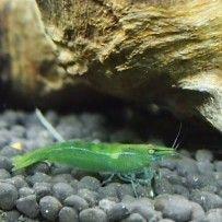 Caridina Cf Babaulti Var Green Green Shrimp Shrimp Invertebrates Crustaceans