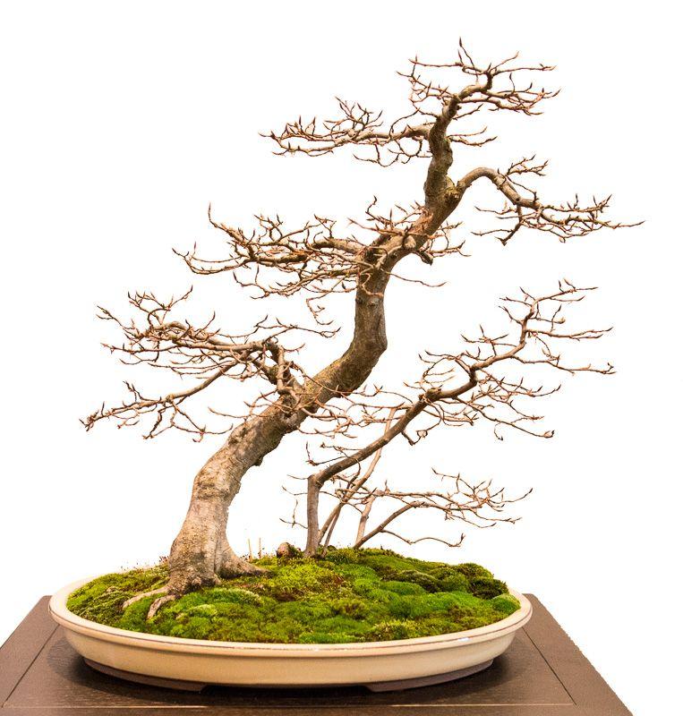 geneigte hainbuche carpinus betulus auf der bundesausstellung 2014 in mannheim bonsai b ume. Black Bedroom Furniture Sets. Home Design Ideas
