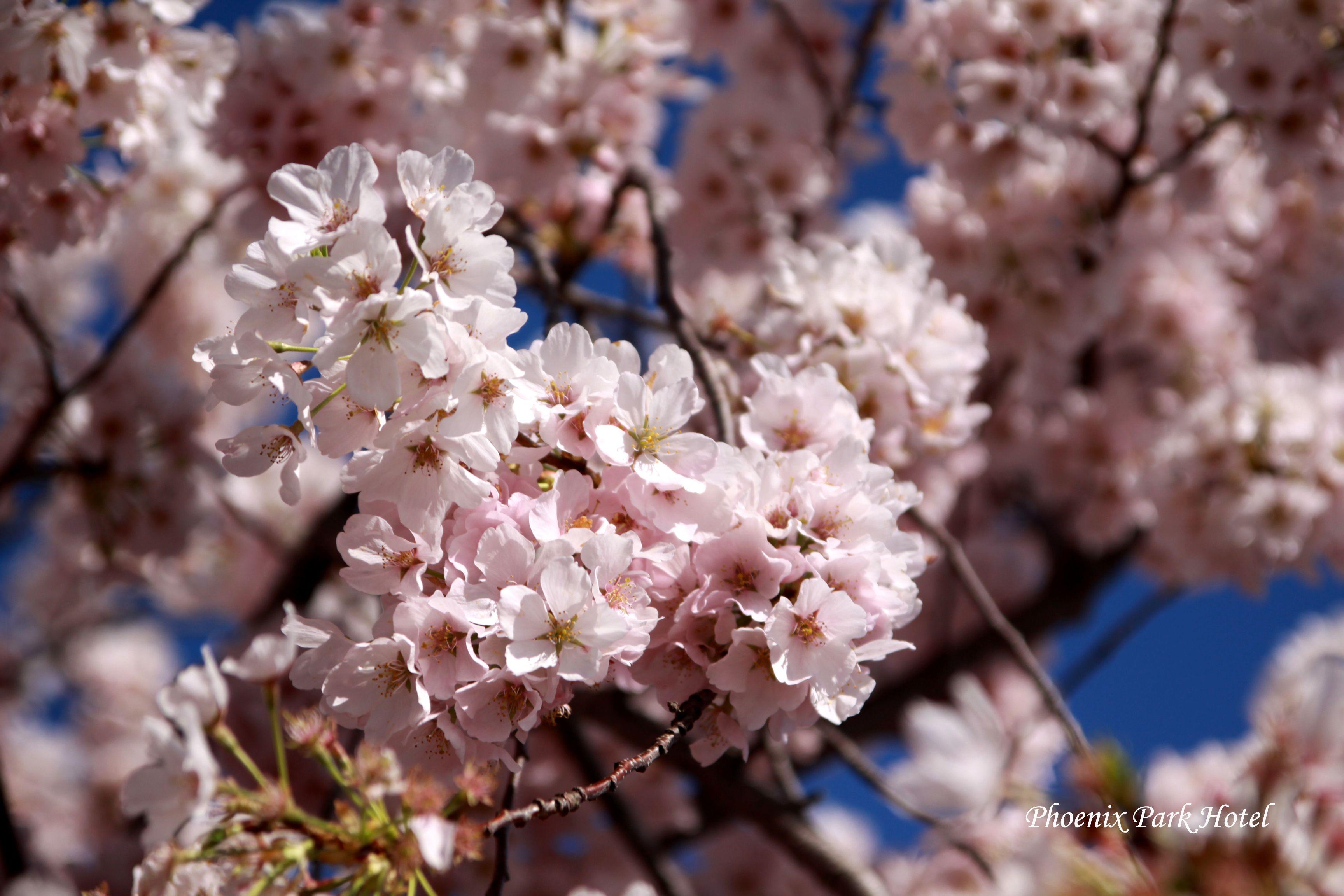 Cherryblossom Washingtondc Phoenixparkhotel Cherry Blossom Sepcial With Handmade Paper Tre Cherry Blossom Dc Cherry Blossom Festival Cherry Blossom Tree