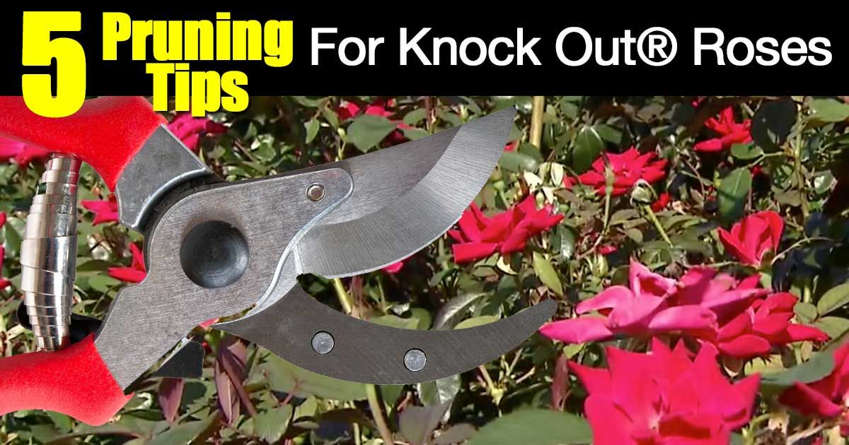 How To Prune Knockout Roses 5 Video Tips Knockout Roses Knockout Roses Care Pruning Knockout Roses