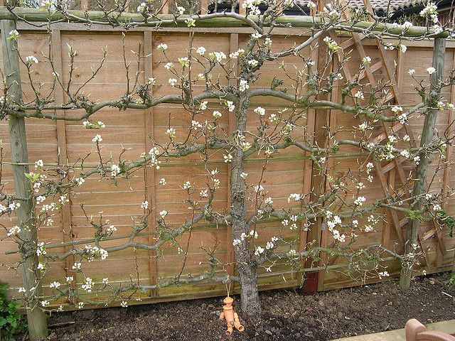 put the apple tree along the fence to save backyard space....