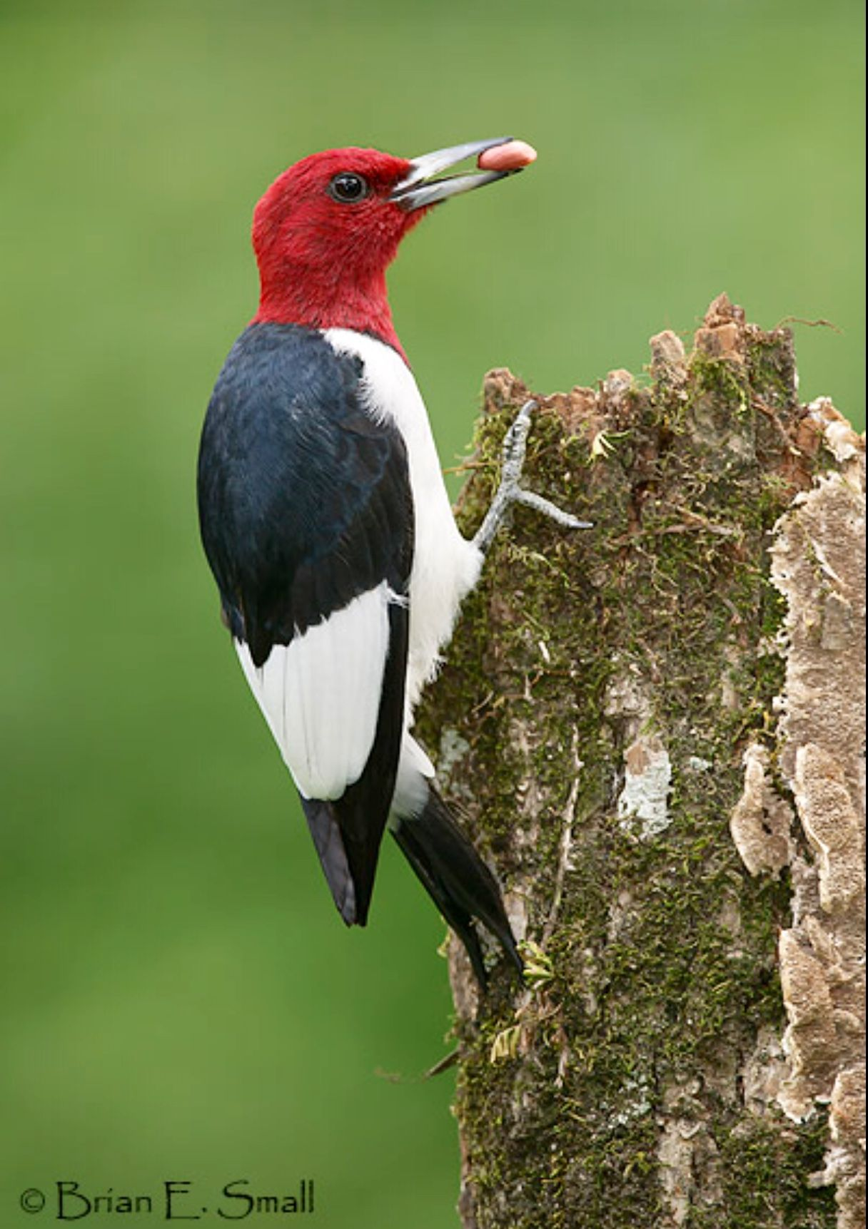 The Beautiful Red Headed Woodpecker (Melanerpes Erythrocephalus) Is Native To Temperate