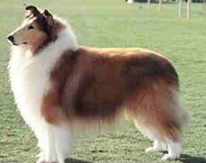 Common Use Of The Name Collie In Some Areas Is Limited Largely