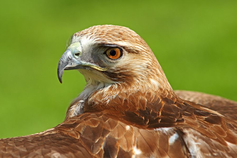 Red-Tailed Hawk by Simon Roy, via 500px