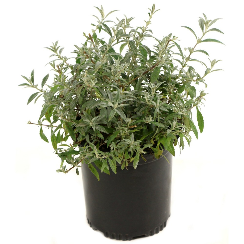 Buddleia 'Black Knight' 1pc U.S.D.A Hardiness Zone 5-9 National Plant Network 2.25gal