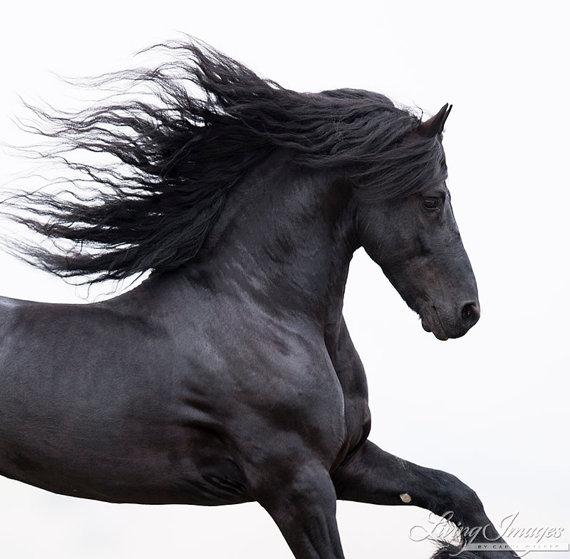Schwarze Friesen läuft  Hampel-Pferd-Fotografie  von WildHoofbeats