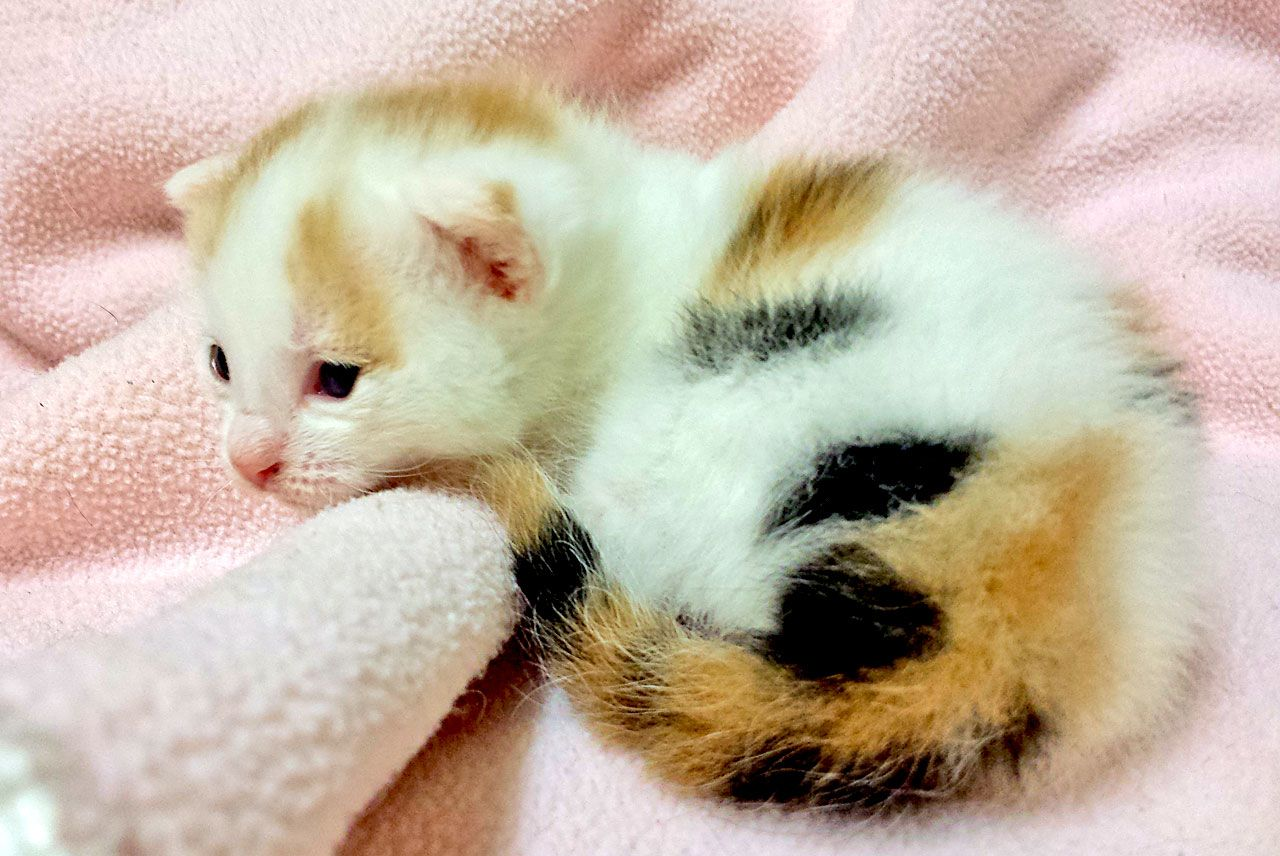 Adorable New Foster Kitten 2 Week Old Kit Kat Have A Cute Rescue Story You D Like To Share Send Us A Note At Http Foster Kittens Cats And Kittens Cute Cats