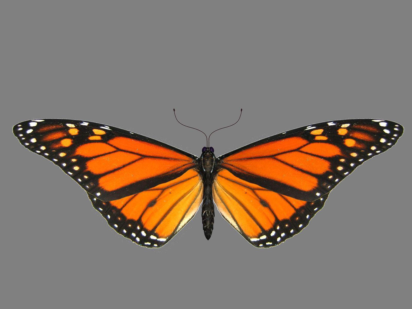 Butterfly Png Image Butterfly Png Images Png