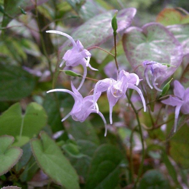 epimedium grandiflorum - fleurs des elfes rose lilas pâle   idées