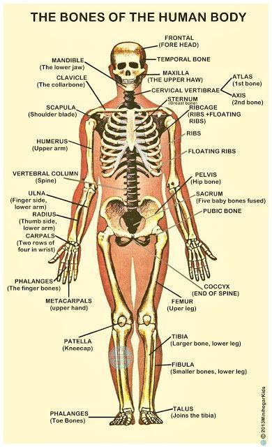 The Bones Of The Human Body Los Huesos Del Cuerpo Humano Nombres