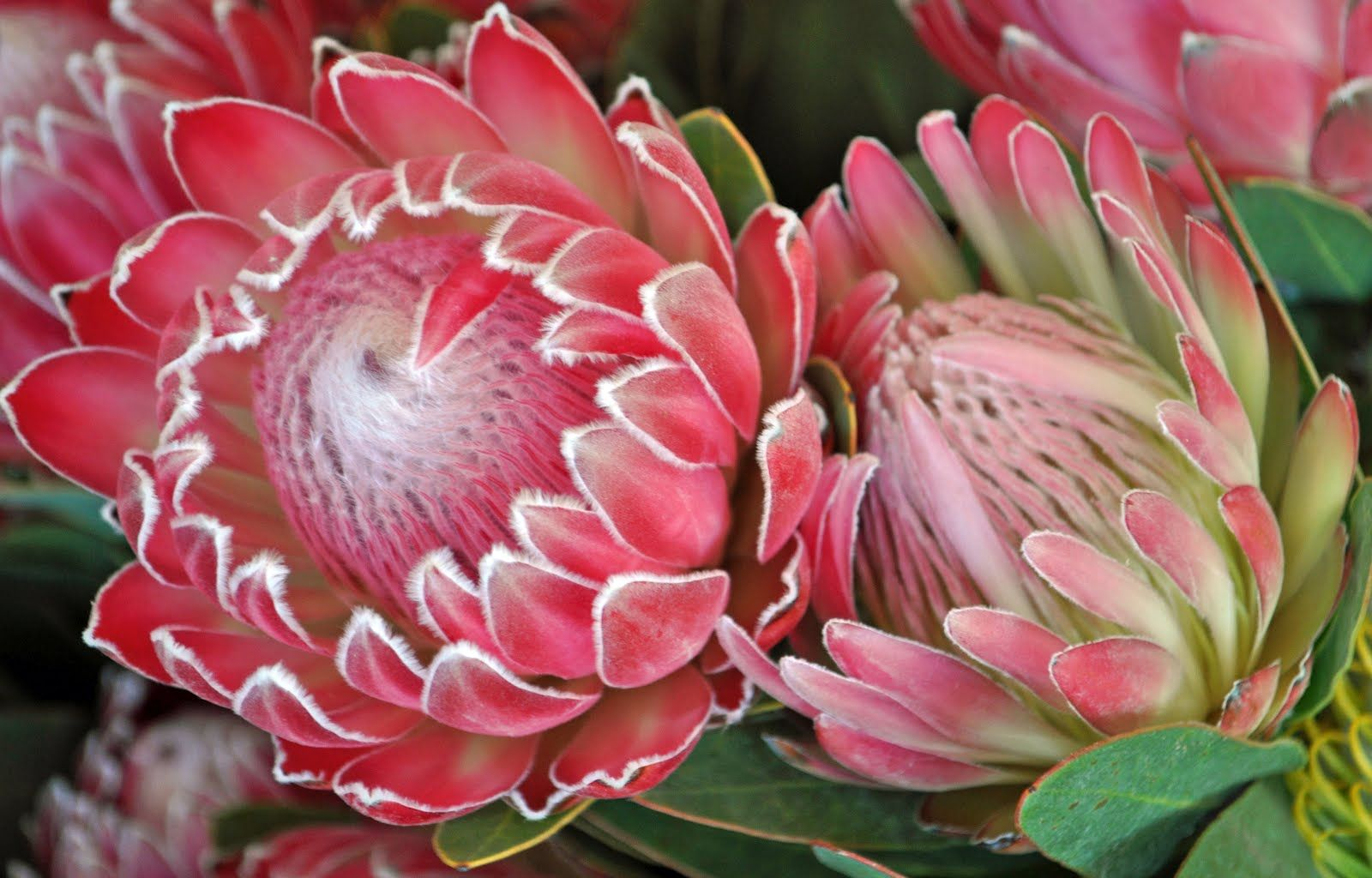 A Passion For Flowers January 2012 Protea Flower Protea Art Australian Flowers