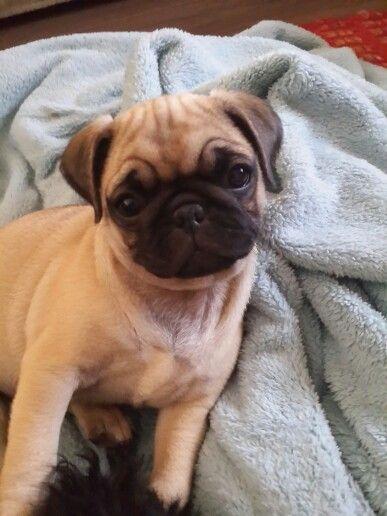 Mila the pug.
