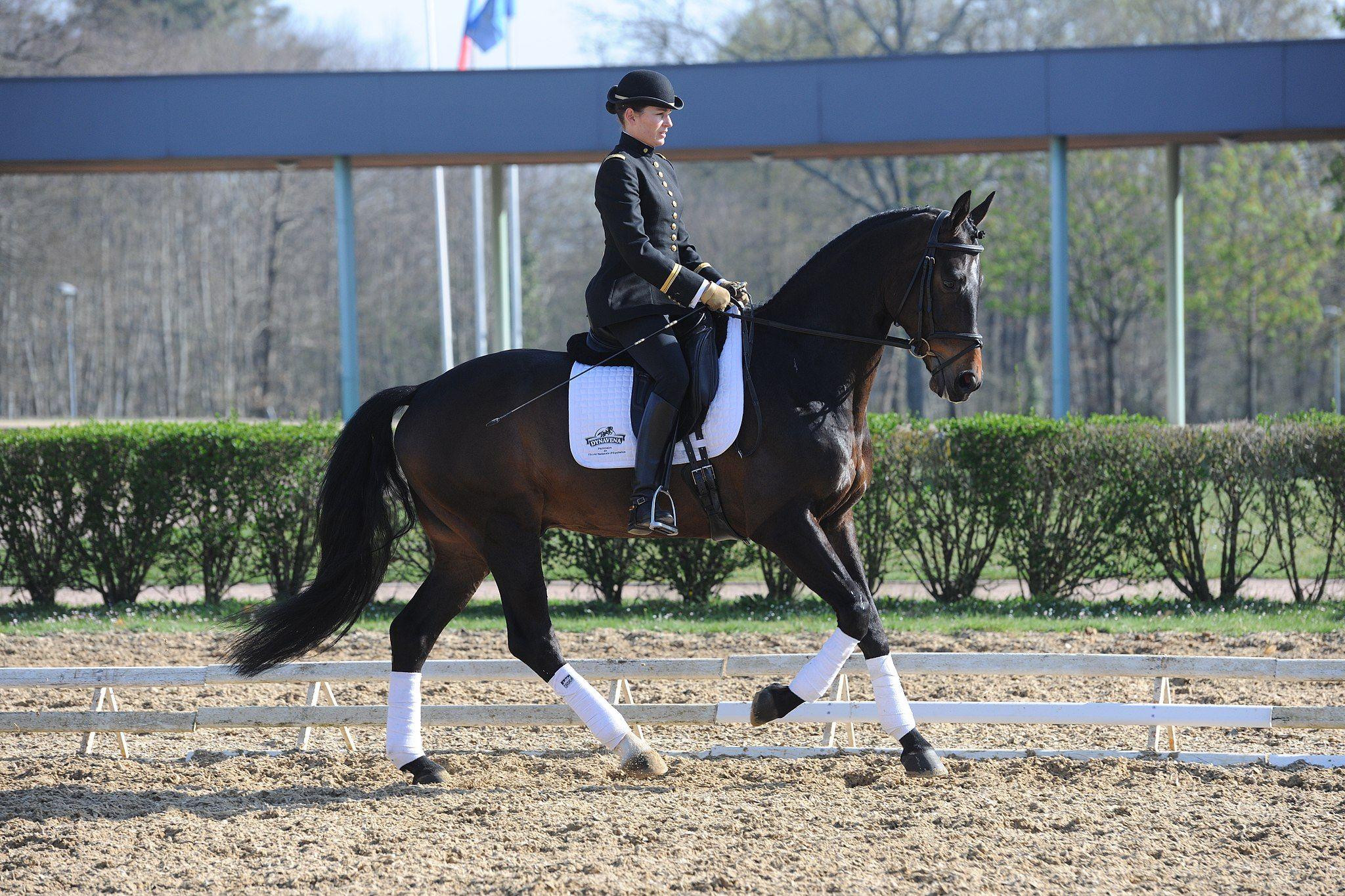 Hannoveraner Horses Animals Equestrian