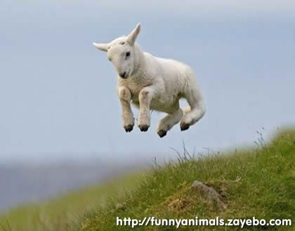 This Little Lamb Must Be Really Excited For Some Reason To Jumping So High