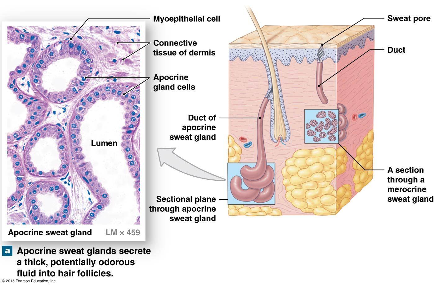 hight resolution of sweat glands