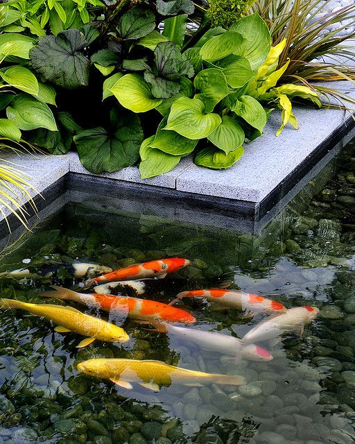 The burgbad sanctuary koi pool 1 amphibians and koi for Maintaining a garden pond