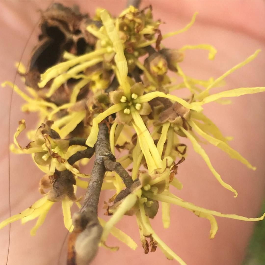 Witch Hazel Hamamelis Virginiana Before It Was Applied To This Tree The Name Witch Hazel Was Used In Eng Witch Hazel Face Witch Hazel Acne Prevent Dry Skin