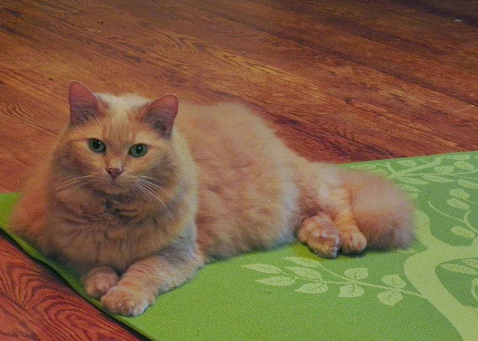 Lucy Fluffy Gold Cat Cat Photos Friday