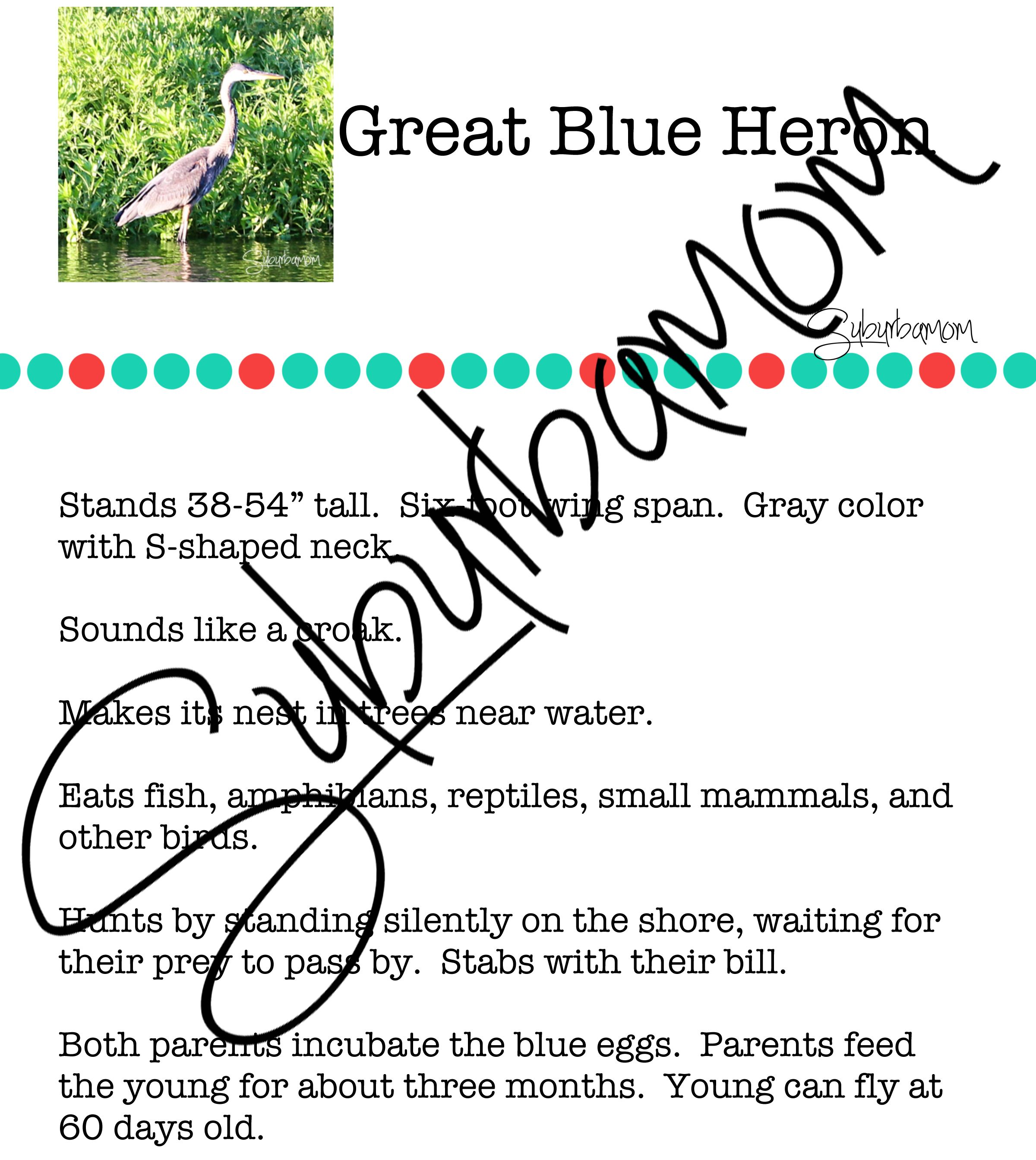 Fun Way To Learn About The Great Blue Heron In The
