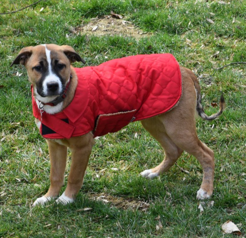 Boxador dog for Adoption in Potomac, MD. ADN534117 on