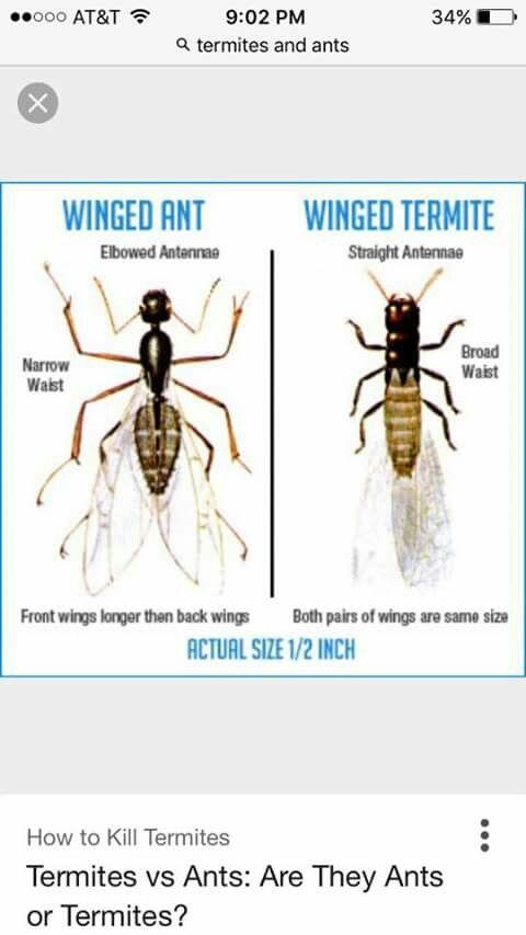 Ant Vs Termite Id Termites Termite Control Winged Termites