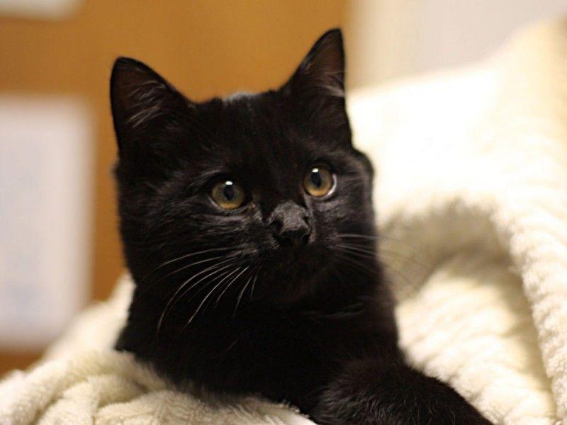 Seattle Humane S Black Friday Deal Free Black Cats Kitten Adoption Black Cat Kittens