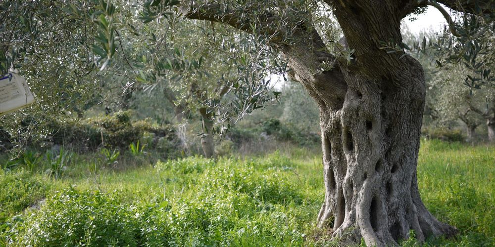 Olive Tree Olive tree, Tree, Plants