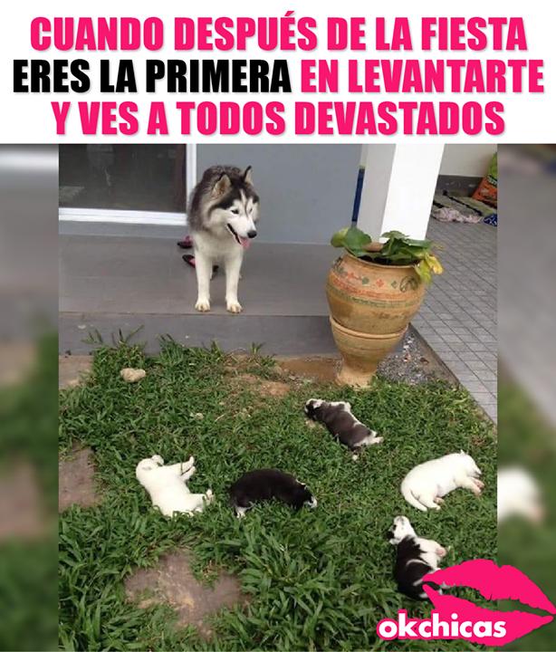 No Posi Estuvo Buena La Party Memes De Perros Chistosos Chistes De Perros Chistes Del Perro Husky