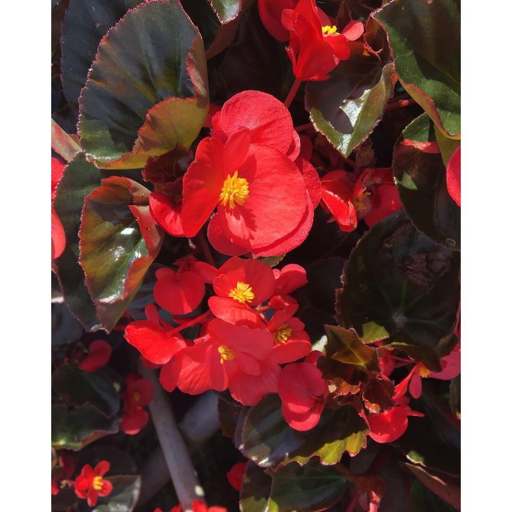 Unbranded Bronze Leaf Scarlet Begonia 12 Plants Dc12pkbegbrs The Home Depot Plants Begonia Hosta Plants