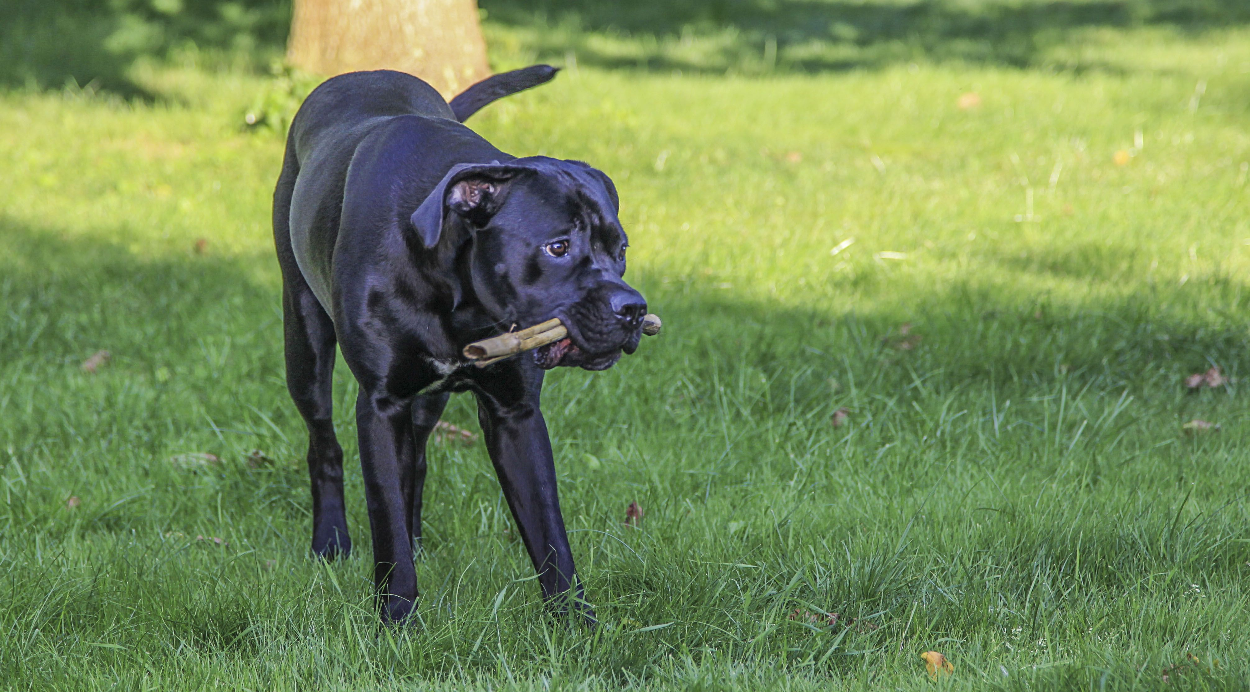 Pin By Stephanie West On Ava In 2020 Cane Corso Dogs Panther