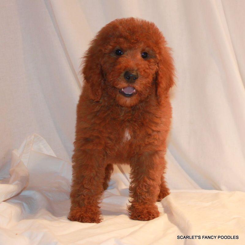 Red Moyen Poodle Puppy Akc Poodles Scarlet S Fancy Poodles