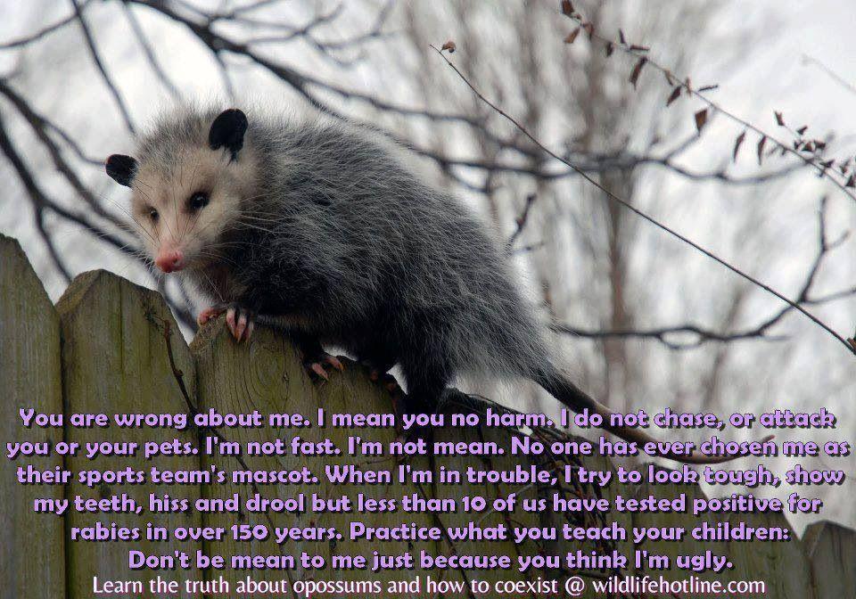 Opossums are so misunderstood Opossum, Animals, Pets